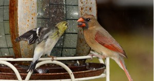 Shirley Burnham / The Prentiss Headlight—Bickering at the feeder between Goldfinches.